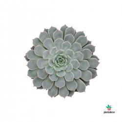 Echeveria Cuspidata Texensis Rosea