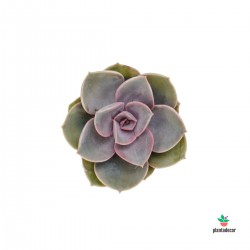 copy of Echeveria Perle Von...