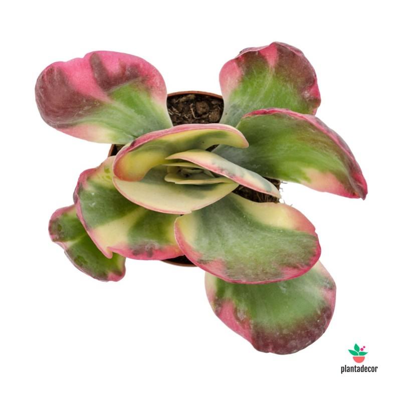 "Kalanchoe Thyrsiflora ""Tricolor"" M-8,5"