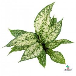 Aglaonema White Whith Green Spots