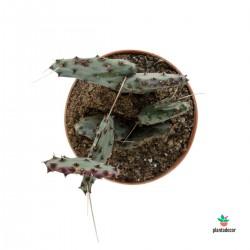 Opuntia Violacea var....