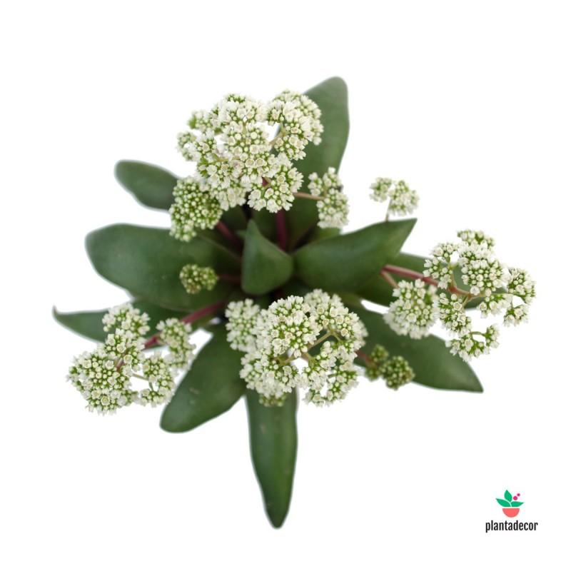 """Crassula Orbicularis Var. """"Rosularis"""" mini"""