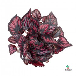 Begonia Magic Colours Etna