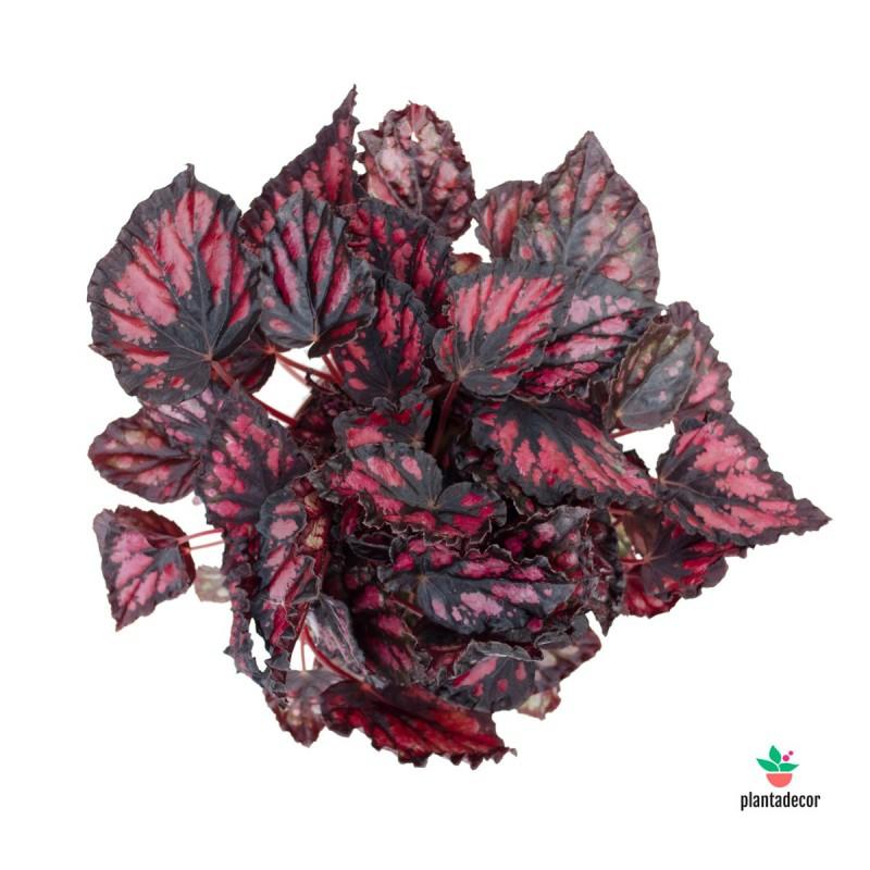 "Begonia Beleaf ""Inca Night"""