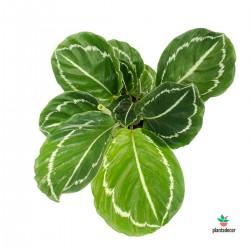 """Calathea Roseapicta """"Jungle..."""