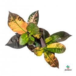 Codiaeum Variegatum cv...