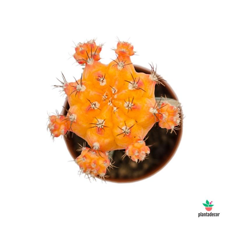 """Gymnocalycium Mihanovichii """"Japan Orange"""" - Injertado"""