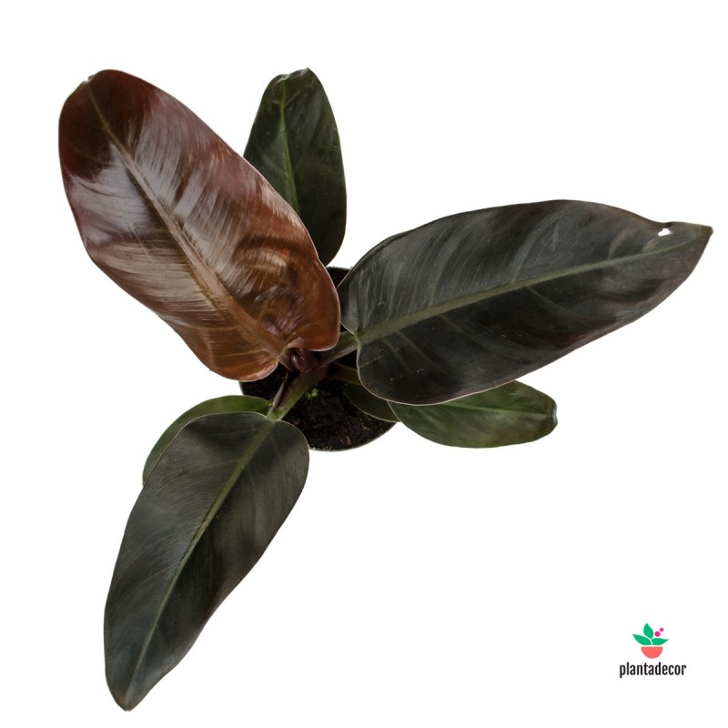 """Philodendron Erubescens """"Imperial Red"""""""