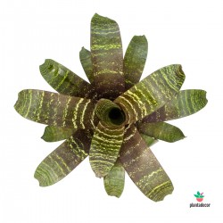 Vriesea Fosteriana Var. Seideliana