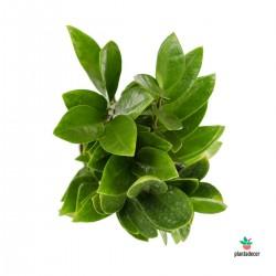 Zamioculcas Zamiifolia Zamicro