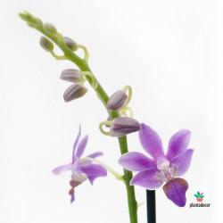 Doritaenopsis Purple Gem...