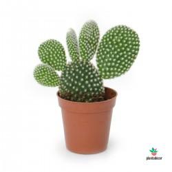 Opuntia Microdasys...
