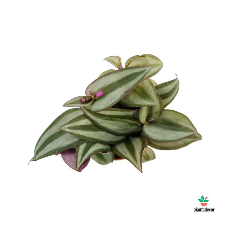 Tradescantia Zebrina M-5,50 cm