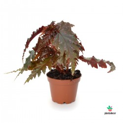 Begonia Serratipetala Mini