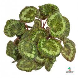 Begonia Longiciliata /...