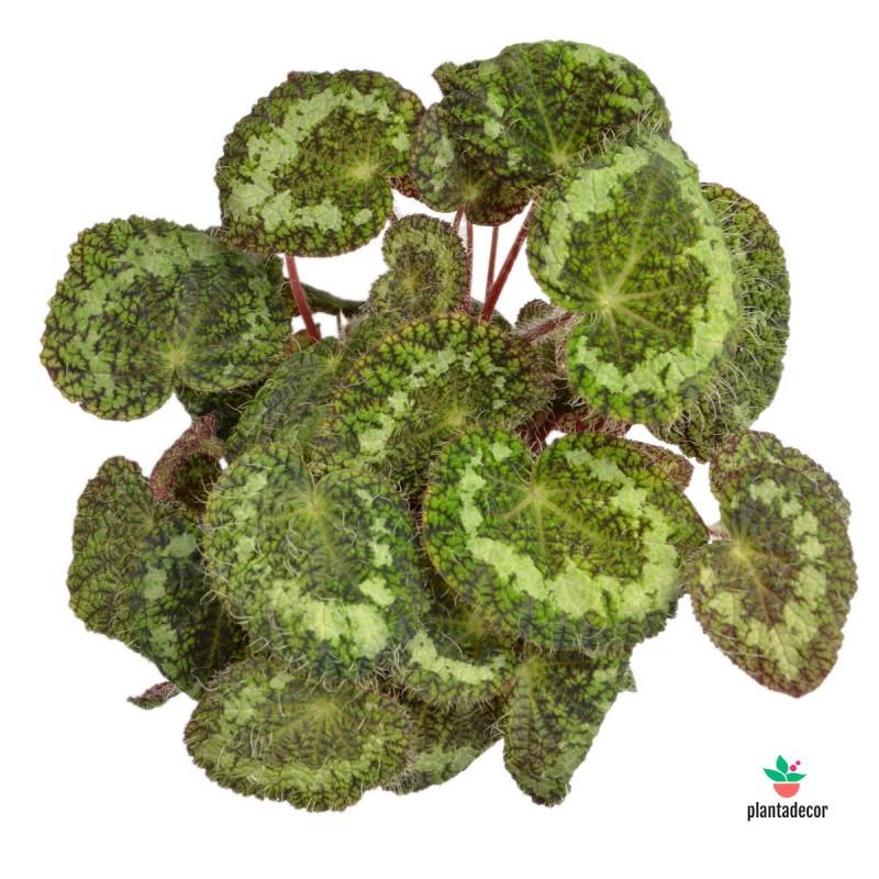 "Begonia Longiciliata / Begonia Rex ""Sizemoreae"""