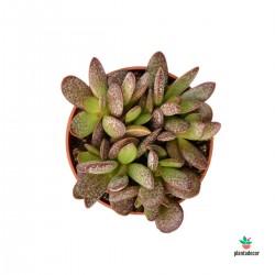 Adromischus Trigynus cv....