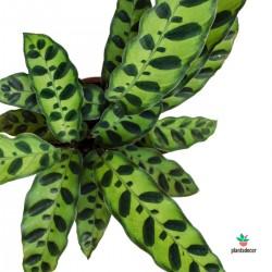 "Calathea Lancifolia ""Insignis"""