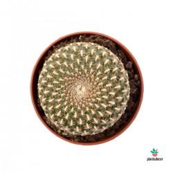 comprar Sulcorebutia Arenacea
