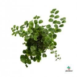 Pellaea Rotundifolia M-7