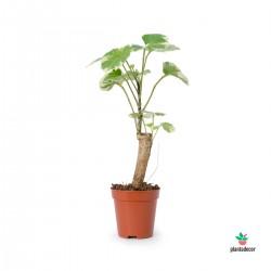 Polyscias Scutellaria Marginata Mini