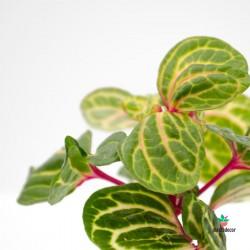 Iresine Herbstii Aureoreticulata-Achyranthes