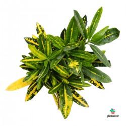 "Euphorbia Obesa ""Mini"""