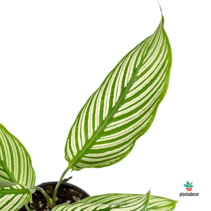 """Calathea Vittata """"Green-White"""""""