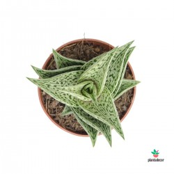 Aloe Variegata Tribal