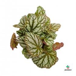 """Begonia Rex """"Tap Dance"""""""