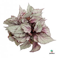 "Begonia Rex ""Asian Tundra""..."
