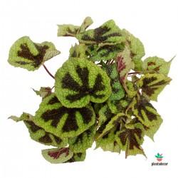 Begonia Masoniana Iron...