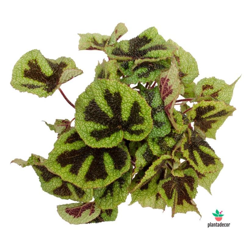 Begonia Masoniana Iron Cross M-17