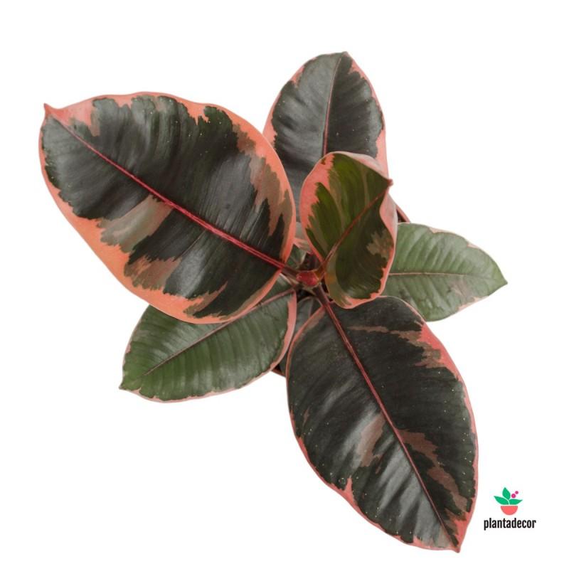 Ficus Elastica Belize Ruby