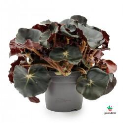 """Adenium Obesum """"Baobab"""""""