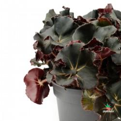 """Aeonium Arboreum """"Variegata"""""""