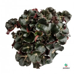 "Begonia Erytrophylla ""Black..."