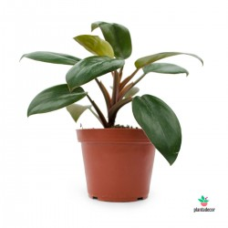"""Philodendron """"Red Baron"""""""