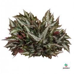 Begonia Sumatra Green