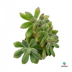 Echeveria Pulvinata M-10cm
