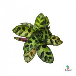 Calathea Lancifolia...