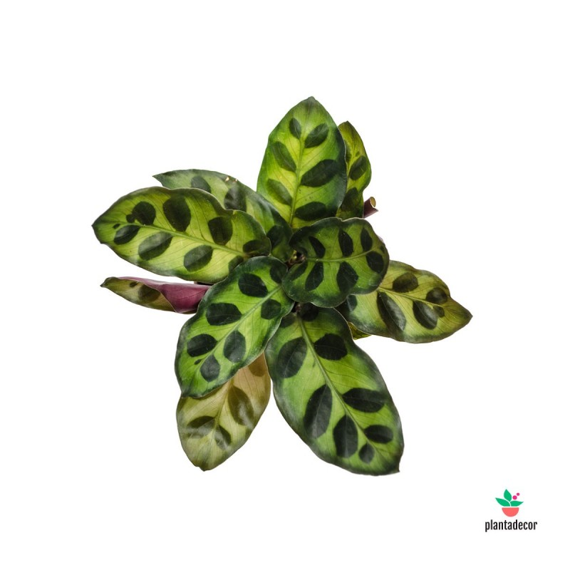"Calathea Lancifolia ""Insignis"" mini"