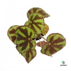 Begonia Masoniana M12