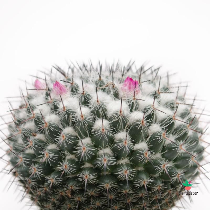 Mammillaria Hahniana M-8,5