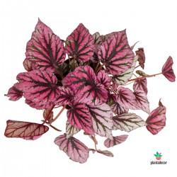 "Begonia ""Beleaf Indian..."