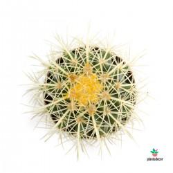 Echinocactus Grusonii M-8,5 cm