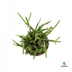 Rhipsalis Burchellii mini