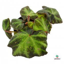 "Begonia ""Soli-Mutata"" /..."