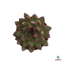 Echeveria Costari M-8,5