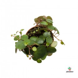 Peperomia Pepperspot M-6 cm